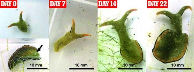 حلزون دریایی, حلزونی که سر خود را جدا و بازتولید می کند!, رسا نشر - خبر روز