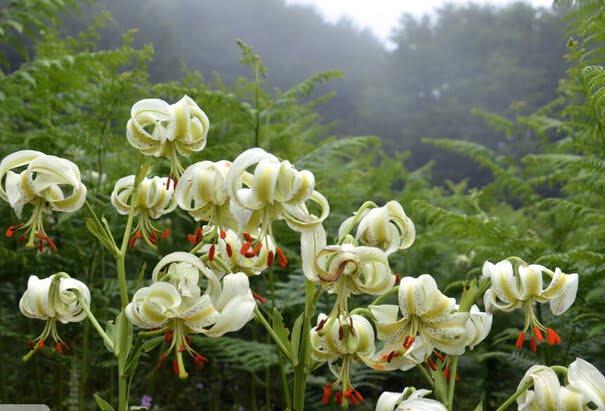 گل زیبا, تصاویری زیبا از شکوفایی نادرترین گل جهان در داماش گیلان, رسا نشر - خبر روز